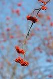 Autumn rowan Stock Images
