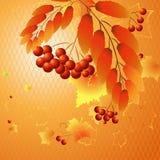 Autumn Rowan Royaltyfri Foto