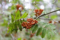 Autumn Rowan Foto de Stock
