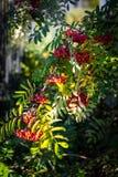 Autumn Rowan photographie stock