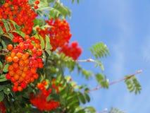 Autumn rowan berries ashberry. Sorbus aucuparia Stock Photo