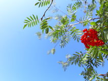 Autumn rowan berries ashberry. Sorbus aucuparia. Autumn red rowan berries on a tree. Rowanberry ashberry in the fall in natural setting on blue sky background Royalty Free Stock Photos