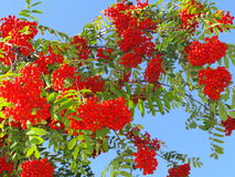 Autumn rowan berries ashberry. Sorbus aucuparia Royalty Free Stock Photo