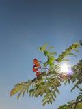 Autumn rowan berries ashberry. Sorbus aucuparia Stock Photography