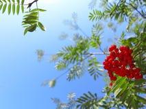 Autumn rowan berries ashberry. Sorbus aucuparia Royalty Free Stock Photo