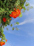 Autumn rowan berries ashberry. Sorbus aucuparia Stock Images