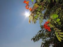Autumn rowan berries ashberry. Sorbus aucuparia Royalty Free Stock Photos
