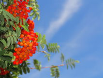 Autumn rowan berries ashberry. Sorbus aucuparia Stock Photos