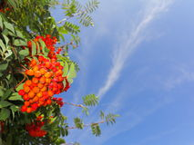 Autumn rowan berries ashberry. Sorbus aucuparia Stock Photography