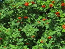 Autumn rowan berries ashberry. Sorbus aucuparia. Autumn red rowan berries on a tree. Rowanberry ashberry in the fall in natural setting on a green background Stock Photo