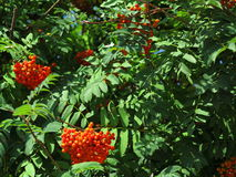 Autumn rowan berries ashberry. Sorbus aucuparia Stock Images
