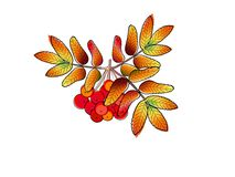 Autumn rowan berry Royalty Free Stock Images