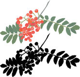 Autumn rowan berry branch. Vector illustration for web Royalty Free Stock Image