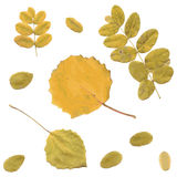 Autumn rowan, birch or Betula, aspen or Populus Royalty Free Stock Photo