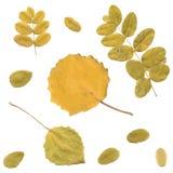 Autumn rowan, birch or Betula, aspen or Populus Royalty Free Stock Photo