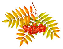 Autumn rowan branch Royalty Free Stock Images