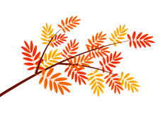 Autumn rowan branch Royalty Free Stock Photography