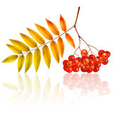 Autumn rowan branch Royalty Free Stock Photo