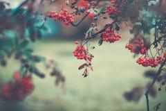 Autumn rowan brunch Royalty Free Stock Photos