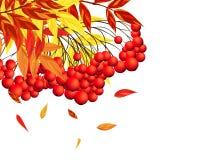 Autumn Rowan Frame Foto de archivo