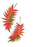 Autumn Rowan Leaves. Two rowan leaves in the red colors of Autumn side by side against a white background.  (Sorbus Embley, known for its flaming scarlet color Royalty Free Stock Images