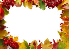 Autumn rowan yellow leaves isolated on white background. Autumn rowan leaves and viburnum frame isolated on white background with copy space. Beautiful fall Royalty Free Stock Image