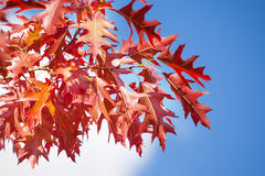 Autumn rowan red leaves over sun and sky Royalty Free Stock Images