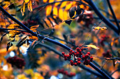 Autumn rowan (Sorbus aucuparia) berries and branches. Close-up royalty free stock photos
