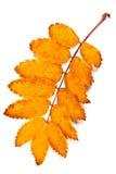 Autumn rowan tree leaf isolated on white background. With clippi Stock Photos
