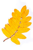 Autumn rowan tree leaf isolated on white background Stock Images