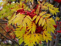 Autumn rowan tree with red berries and colorful leaves. Selective focus Stock Photography
