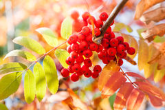 Autumn rowan tree with red berries Royalty Free Stock Photo