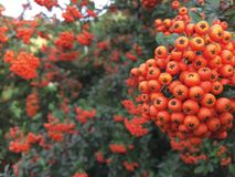 Autumn rowan tree with red berries and colorful leaves. Selective focus. Rowan branches covered with beautiful red berries. Pyracanth Stock Image