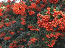 Autumn rowan tree with red berries and colorful leaves. Selective focus. Rowan branches covered with beautiful red berries. Pyracanth Royalty Free Stock Photos