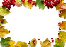 Autumn rowan yellow leaves isolated on white background. Autumn rowan leaves and viburnum frame isolated on white background with copy space. Beautiful fall Stock Image