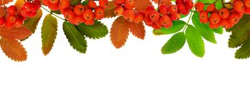 Autumn rowanberries and leaves in a border arrangement. Isolated on white stock images