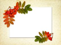 Autumn rowanberries and leaves in a corner arrangements on white. Card and old paper background stock images