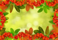 Autumn rowanberries and leaves in a frame arrangement. On green blurred background stock image