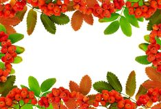 Autumn rowanberries and leaves in a frame arrangement. Isolated on white stock image