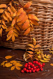 Autumn rowanberry Stock Image