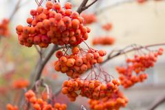 Autumn rowanberry clusters on blur background. Autumn rowanberry clusters on blur background Stock Photo