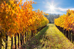 Autumn Rows of Vineyard in Wine Growing Region, Tuscany Stock Images