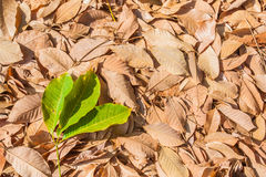 Autumn rubber leaves background Stock Photo
