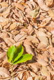 Autumn rubber leaves background Royalty Free Stock Image