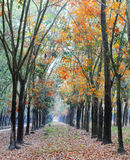Autumn rubber tree forest in Dong nai, Vietnam.  Royalty Free Stock Photos