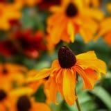 Autumn Rudbeckia Royalty-vrije Stock Afbeelding