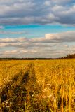 Autumn rural field, blue sky and clouds, harvesting. Dry weather. stock image