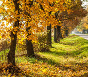 Autumn rural landscape with gold trees in a row. Sunny beautiful day royalty free stock photography