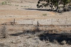 Kangaroo by fence with bare paddock in background stock images