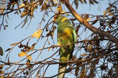 Native Australian green parrot perched in gum tree in the late afternoon sunlight royalty free stock photo